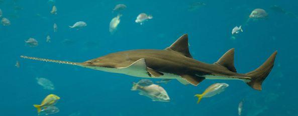 Pristis_pectinata _Georgia_Aquarium_ Diliff Wiki