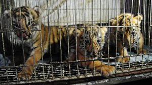 tiger cubs caged