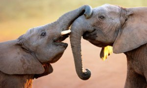 aa-3697-elephant