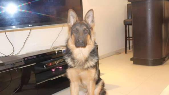 german shephard missing in azaiba Muscat