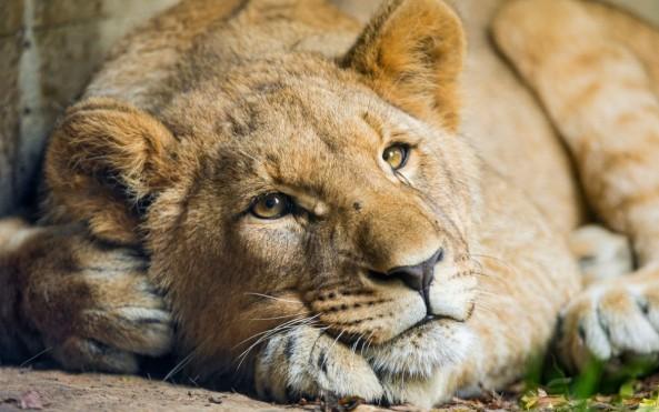 lionss-1200x751