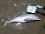 DOLPHIN DEATHS :Gulf Coast bottlenose dolphins have been washing up dead in unusually high numbers in recent years.