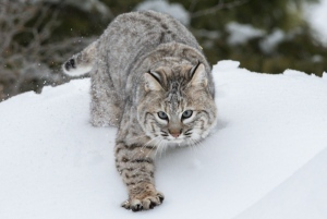 Bobcat_Outward_bound_CC