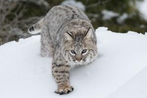 Bobcat_Outward_bound_CC