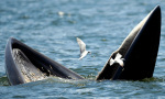 A Bryde's whale and seagulls feast on anchovies. Photograph: Rungroj Yongrit/EPA