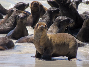 Baby Sea Lions by Eric Boerner NOAA