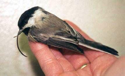 Chickadee deformed beak USGS