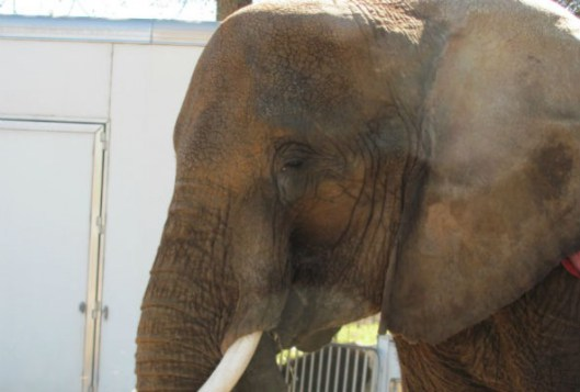 nosey-the-elephant-592x399