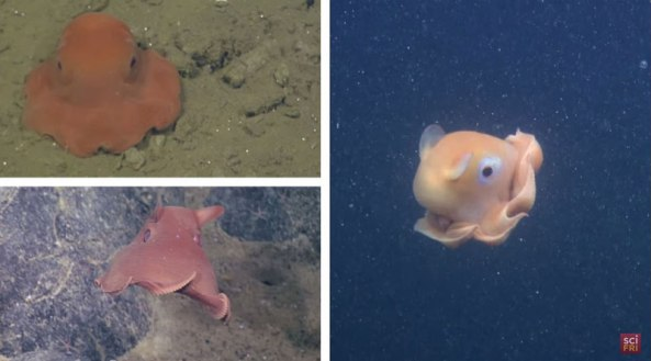 Scientists Want To Call This Unnamed Octopus Species Adorabilis (1)