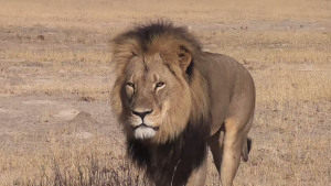 """""""Cecil the Lion"""" by Source (WP:NFCC#4). Licensed under Fair use via Wikipedia - https://en.wikipedia.org/wiki/File:Cecil_the_Lion.jpg#/media/File:Cecil_the_Lion.jpg"""