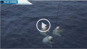 Beaufort swimming polar bears_Sept 30 2015_Global news