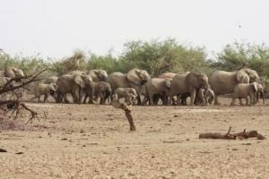 A herd of desert elephants searches for water in the drought stricken Gourma region of southern Mali in a file photo. REUTERS/Jake Wall