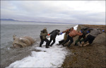 Some carcasses of the walruses were taken away by villagers and eaten, it is understood.Picture :Andrey Gynon