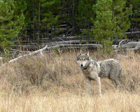 Gray wolf MFWP