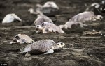The_deaths_of_the_500_Olive_Ridley_turtles_are_being_linked_to_fishing_nets