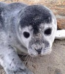 Mothers may abandon their pups if you get too close. Credit: Marine Mammals of Maine.