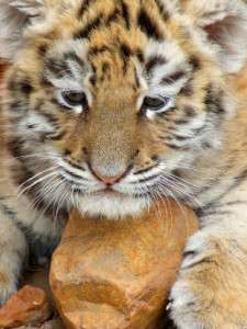 tmp_12119-tiger-by-rupertjefferies-310x413-529829591