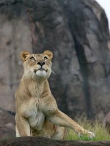 tmp_6481-lion-by-Matthew_Hull-310x413-1138387010
