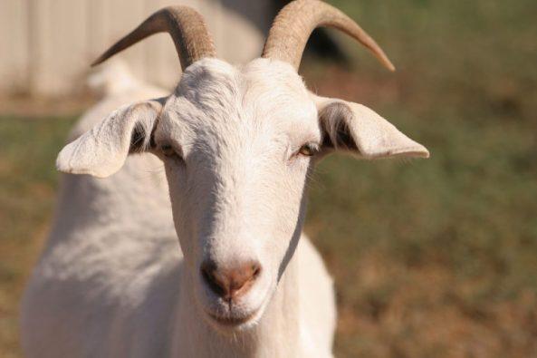 Goat-Fir0002-768x512