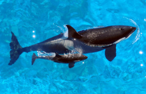 orca-and-calf