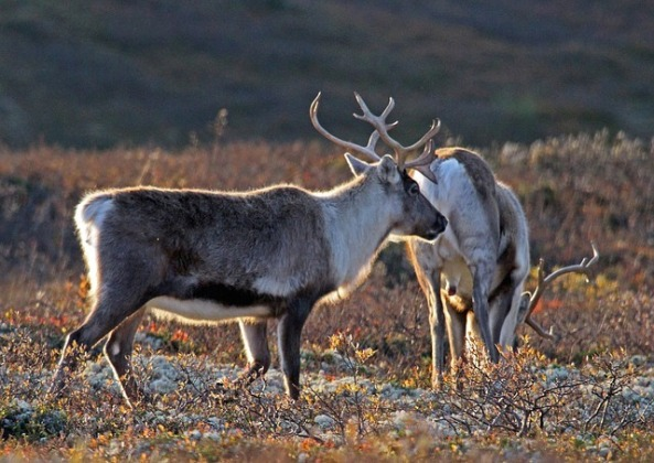 tmp_5307-norway-reindeer-939743476