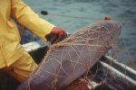 A critically endangered vaquita entangled in a gill net.NOAA