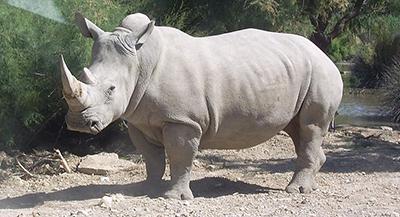 tmp_11931-White-rhino-by-Coralie-1206893427