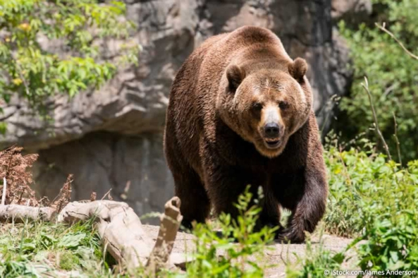 tmp_2325-grizzly_credited_mc1504968107