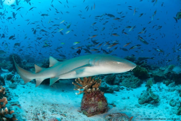 tmp_29126-Nurse-Shark-2124327322