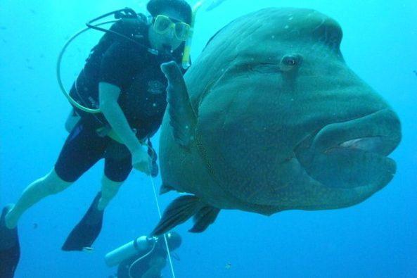 tmp_7395-Napoleon_fish_lux_tonnerre-768x5121726700945