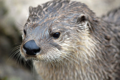 tmp_7395-River-Otter-by-Chris-Paul-400x268580243192
