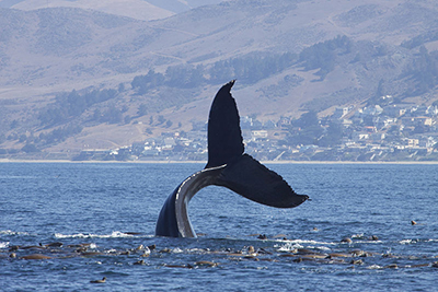 Humpback-whale-by-gregory-smith