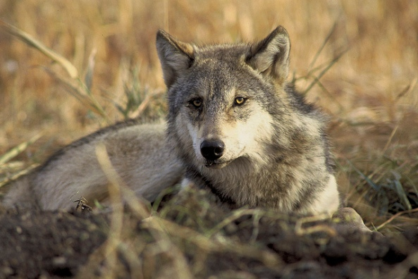endangered-threated-gray-wolf-endangered-gray-wolf-canis-lupus_usfws-endangered-species