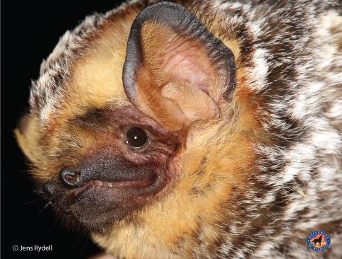 Hoary-Bat-Jens-Rydell