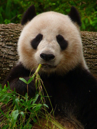 800px-Giant_Panda_eating_Bamboo-By-Manyman-310x413(2)