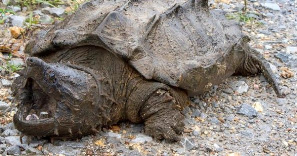 alligator-snapping-turtle-600x315