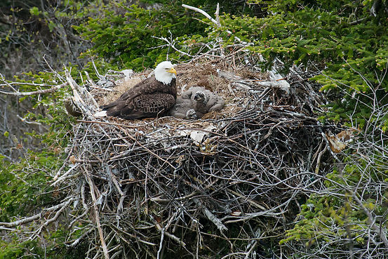 Adult Bald Eagle with two chicks in a nest in a tree on the side of a cliff.
