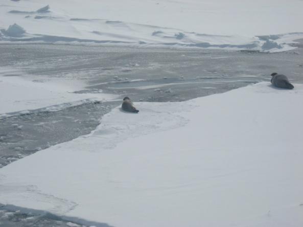 Seal habitat frozen open lead_Beaufort 2008_Miller
