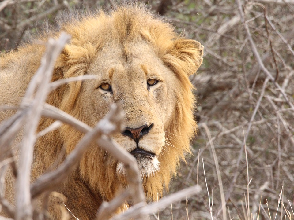 lion-2843871_960_720