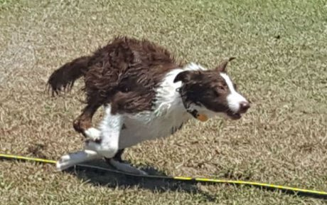 brilliant dog dragged his favorite sprinkler inside to cool down