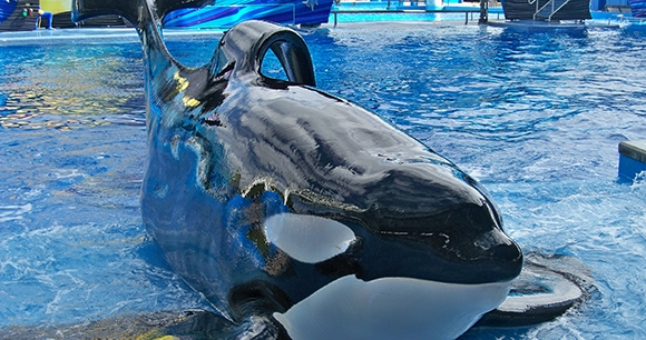 tilikum-flickr-brandykregel