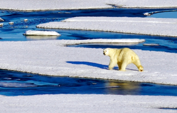 chukchi-sea-polar-bear-arctic_early-august-2018_a-khan-nsidc.jpg