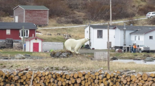 newfoundland polar bear 10 june 2018_iceberg festival committee_thresa burden photo