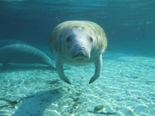A Florida manatee looking at the camera.
