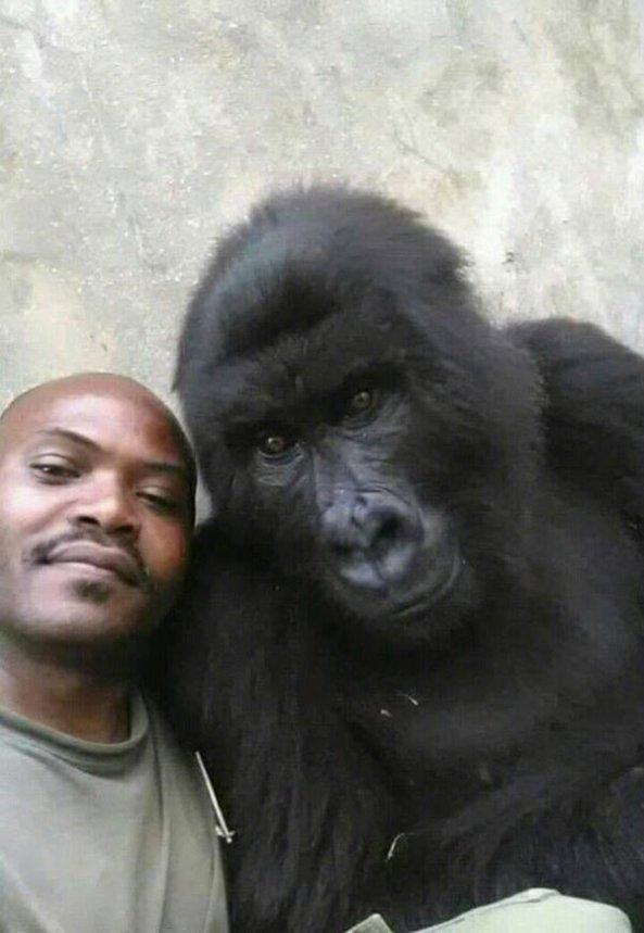 gorilla-selfie-standing-2351724678.jpg?w=593
