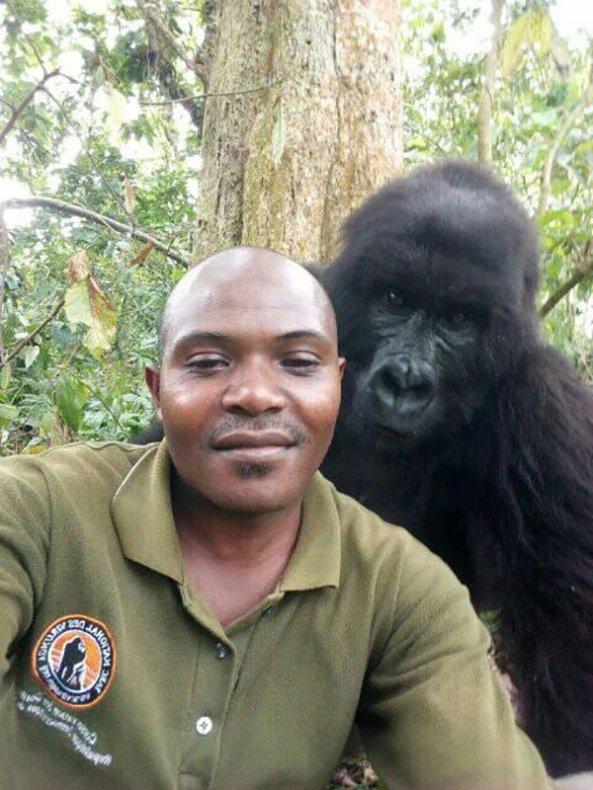 gorilla-selfie-standing-3760235242.jpg?w=593
