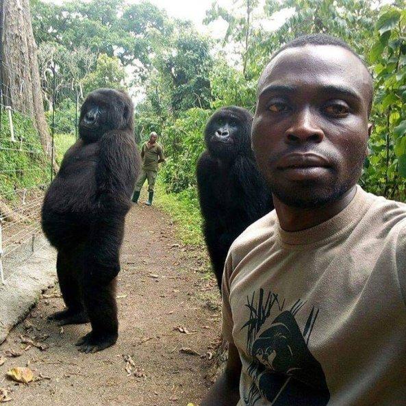 gorilla-selfie-standing-4746512240.jpg?w=593