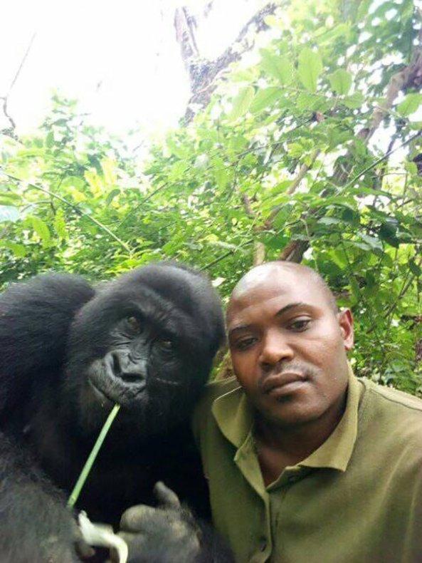 gorilla-selfie-standing-5741685959.jpg?w=593