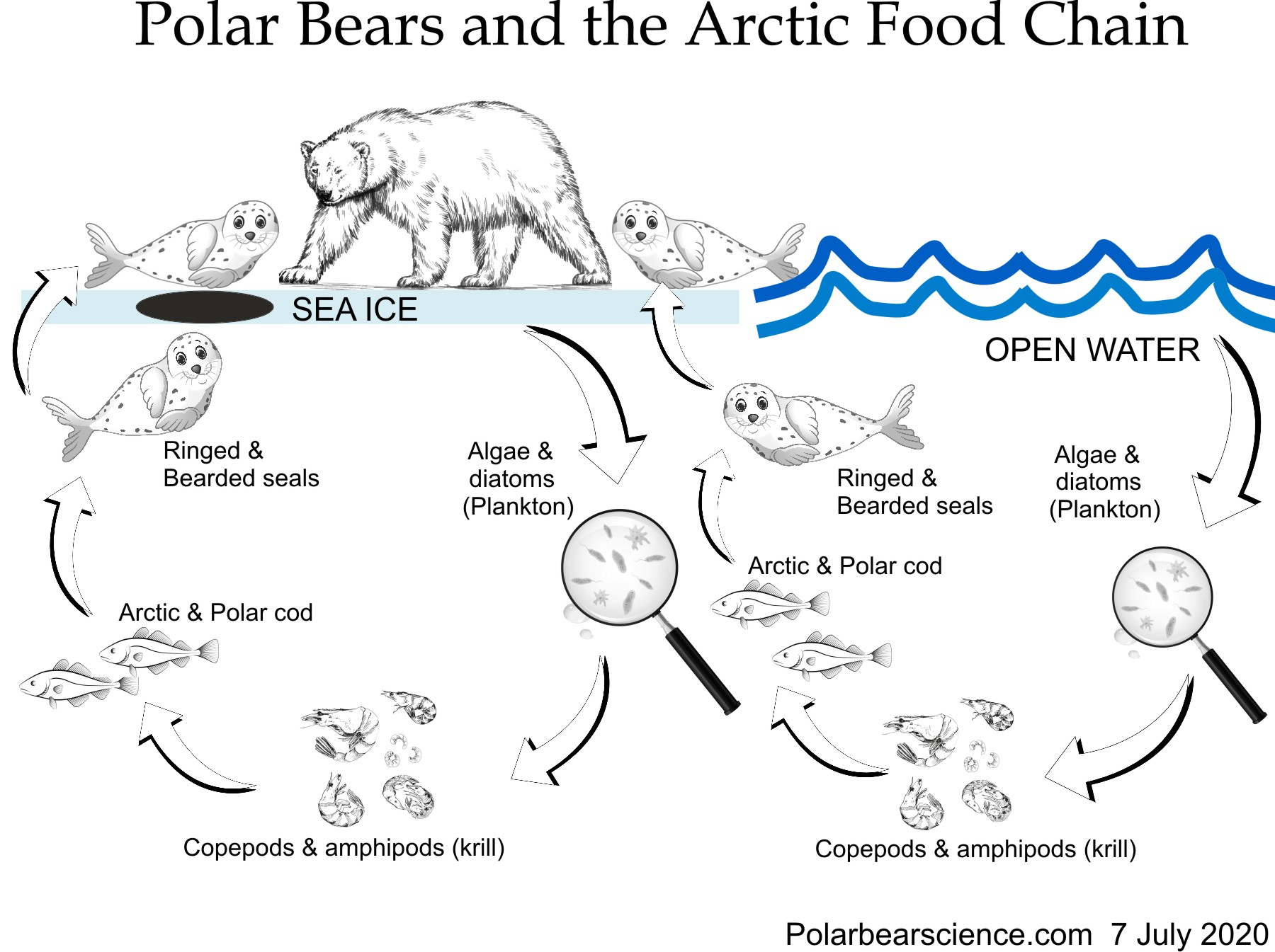 Polar bear top of Arctic food chain 7 July 2020