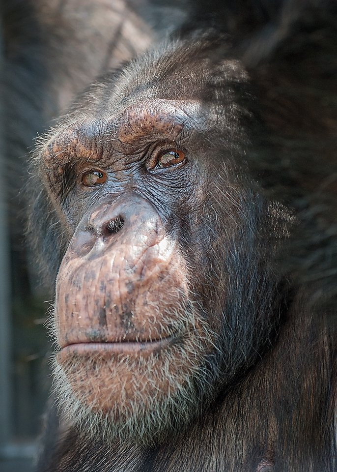 A close-up photograph of chimpanzee Hercules at Project Chimps. Credit: Crystal Alba
